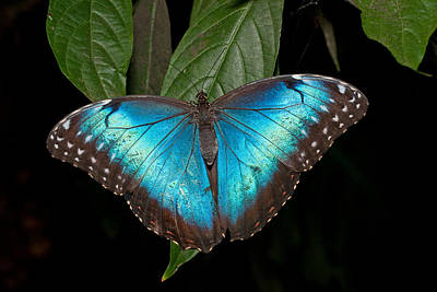 Photograph - Blue Morpho Butterfly by David Freuthal