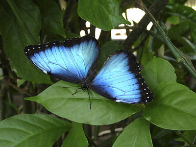 Photograph - Blue Morpho Butterfly II. by Chris  Kusik
