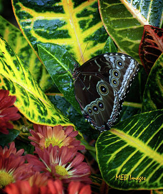 Photograph - Blue Morpho Butterfly by Margaret Buchanan