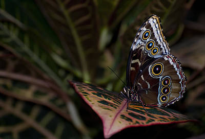 Photograph - Blue Morpho Morpho Peleides - Ventral - II by Robin Webster