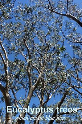 Photograph - Blue Mountain Eucalyptus Trees by Carla Parris