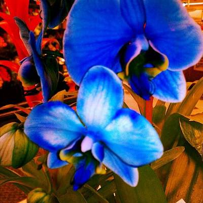 Photograph - Blue Mystique Orchids by Rabecca Primeau