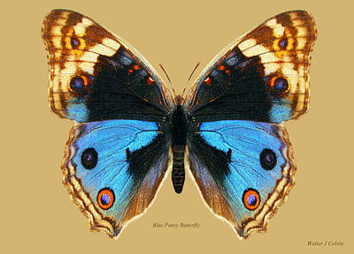 Digital Art - Blue Pansy Butterfly by Walter Colvin