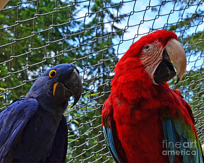 Photograph - Blue Parrot And Macaw by Jack Moskovita