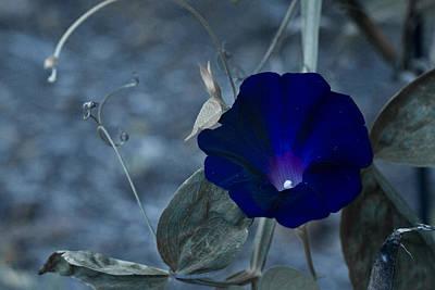 Blue Petunia 2 Art Print