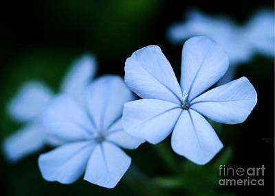 Photograph - Blue Plumpago by Sabrina L Ryan