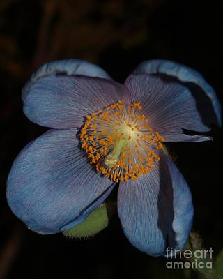 Digital Art - Blue Poppy by Denise Dempsey Kane