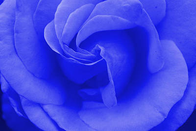 Photograph - Blue Rose by Robyn Stacey