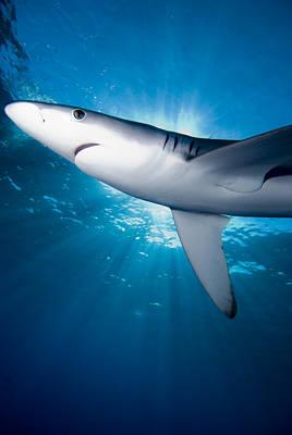 Blue Shark In The Sun Original