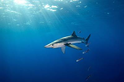 Photograph - Blue Shark by James R.D. Scott