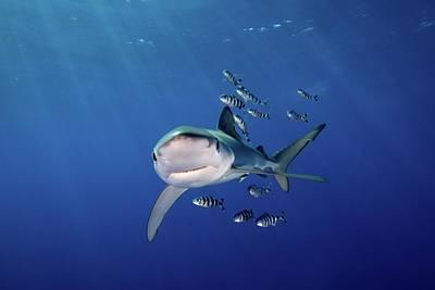 Undersea Photograph - Blue Shark With Pilot Pish by James R.D. Scott