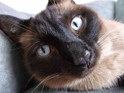 Blue Siamese Eyes Original by Brian  Maloney