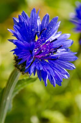 Photograph - Blue Single Cornflower by Michael Goyberg