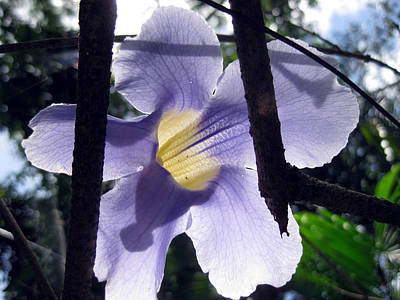 Photograph - Blue Sky Vine Flower by Sarah Hornsby