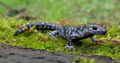 Photograph - Blue-spotted Salamander by Griffin Harris
