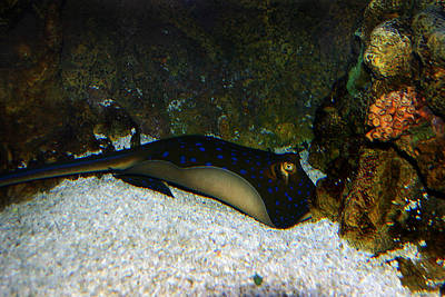 New Years Royalty Free Images - Blue Spotted Stingray Royalty-Free Image by Anthony Jones