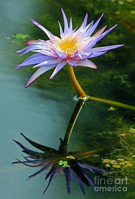 Blue Stargazer Lily Art Print by Larry Nieland