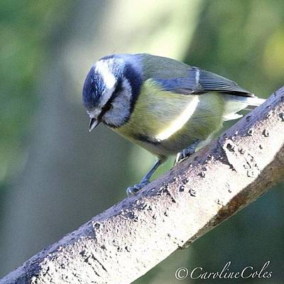 Ornithology Photograph - Blue Tit - My Garden by Caroline Coles