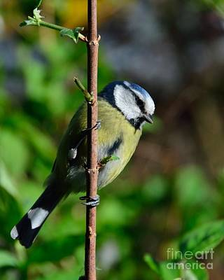 Photograph - Blue Tit by Alan Clifford