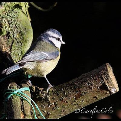 Ornithology Photograph - Blue Tit On Perch #ornithology by Caroline Coles