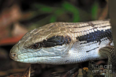 Blue Tongue Lizard Art Print by Kaye Menner
