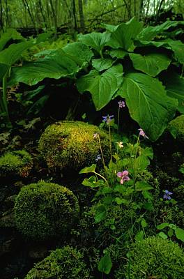 Swamp Cabbage Photograph - Blue Violets, Mosses, And Skunk Cabbage by Raymond Gehman