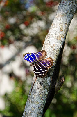 Lkg Photograph - Blue Wave Butterfly by Laura George