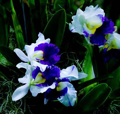 Photograph - Blue White Cattleya by Chua  ChinLeng
