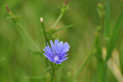 Photograph - Blue Wildflower by Helen Haw