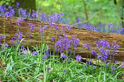 Photograph - Bluebell Log by Ed Lukas