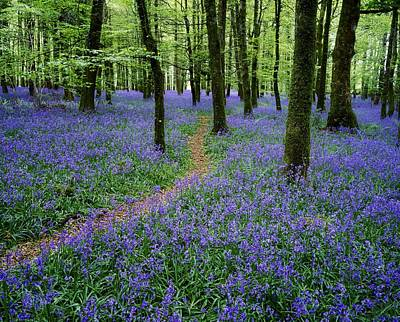 Connaught Photograph - Bluebell Wood, Near Boyle, Co by The Irish Image Collection