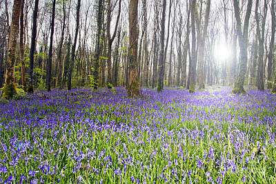 Photograph - Bluebell Woods Kildare Ireland by Catherine MacBride