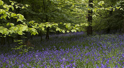 Photograph - Bluebells In The Woods by Gary Eason