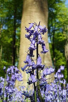 Photograph - Bluebells by Michael Standen Smith