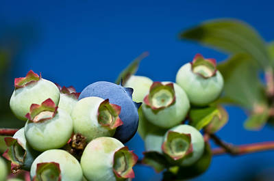 Photograph - Blueberries And Sky by Lori Coleman