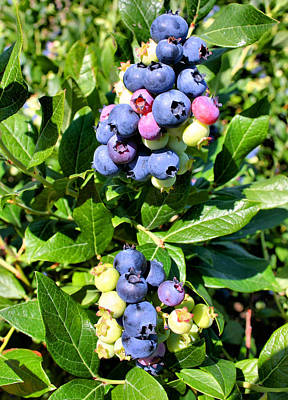 Photograph - Blueberries by Kristin Elmquist