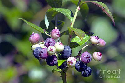 Blueberry Mixed Media - Blueberry Bunch With Raindrops by Sharon Talson