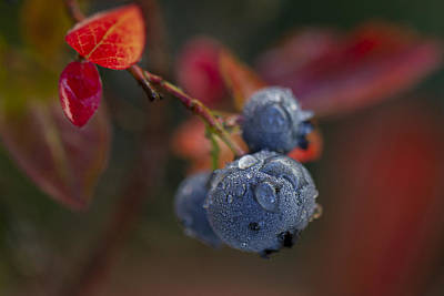 Photograph - Blueberry Dewdrops by Clare Bambers