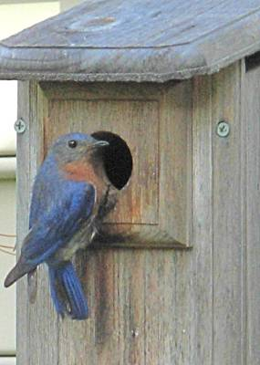 Photograph - Bluebird And House by Jeanne Kay Juhos