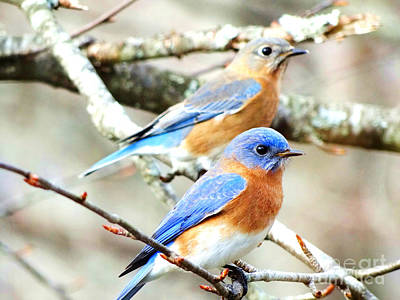 Photograph - Bluebird Couple by Crystal Joy Photography