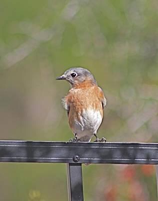 Photograph - Bluebird Cutie by Jeanne Kay Juhos