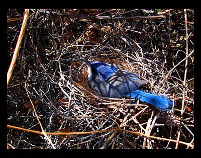 Art Print featuring the photograph Bluebird In Her Nest by Susanne Still