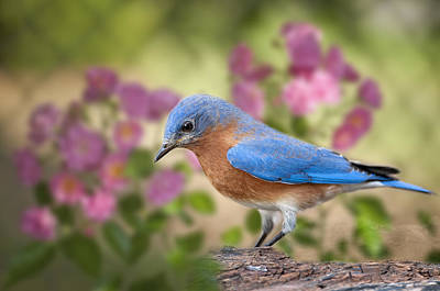 Bluebird In The Rose Garden Original by Bonnie Barry