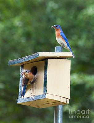 Photograph - Bluebird Parents by Lena Auxier