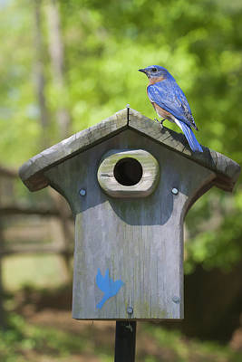 Photograph - Bluebird Sentinel by Gregory Scott