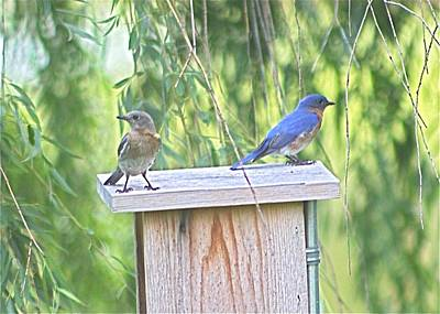 Photograph - Bluebirds On Bluebird House by Jeanne Kay Juhos