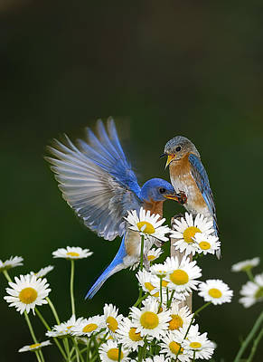 Art Print featuring the photograph Bluebirds Picnicking In The Daisies by Randall Branham