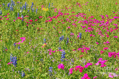 Photograph - Bluebonnets With Neon Pink by Connie Fox