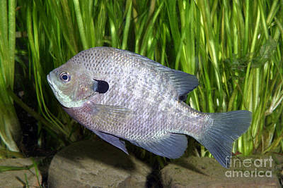 Bluegill Photograph - Bluegill Lepomis Macrochirus by Ted Kinsman