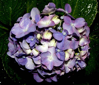 Blueish Purple Hydrangea At Nighfall Print by Kim Galluzzo Wozniak